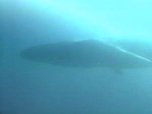 Bryde's whale (video)